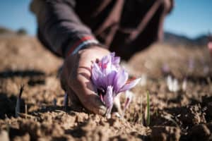 Saffron picking photographed in Iran