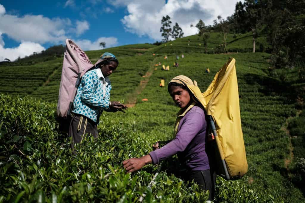 Women picking up tea leaves in Sri Lanka