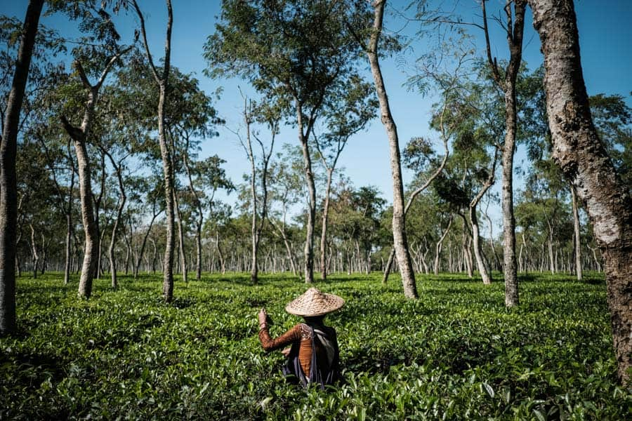 Capturing the Tamil people picking up tea leaves in Bangladesh with Pics of Asia