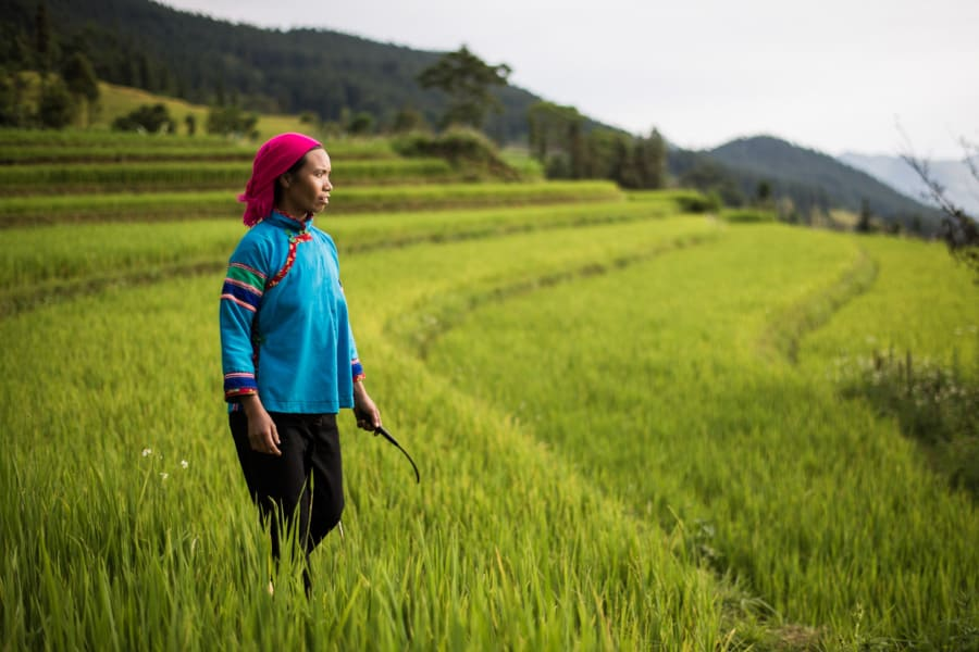 A Red Dzao woman walks in her rice field