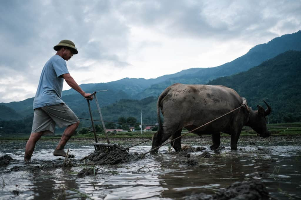 A farmer plowing his field with his buffalo in Lao Cai region Vietnam