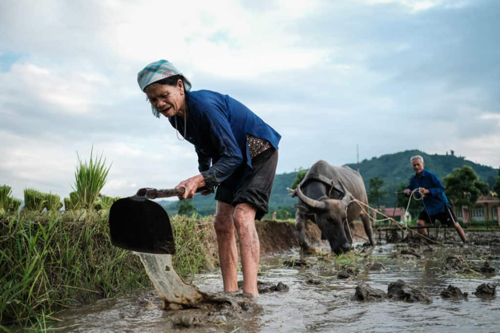 Rice field work for minority people in North Vietnam
