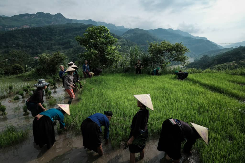 Ethnic tribes working in rice fields in North Vietnam