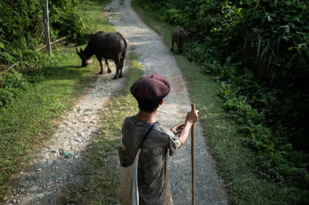 Hmong farmer and his buffaloes